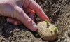 hand planting a sprouting potato