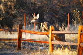 A young doe jumping a fence.