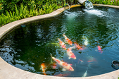 Backyard pond with koi fish