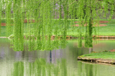 a weeping willow over water