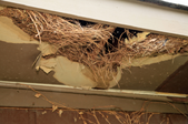 a nest in the eaves.