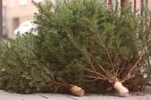 Christmas trees piled on a sidewalk