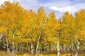 Golden Raintrees.
