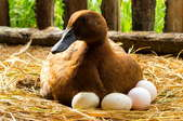 duck sitting on eggs in hay