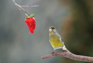 Hungry greenfinch looking on red strawberry.