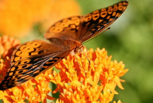A butterfly perched on butterfly weed.