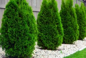 Treating Common Arborvitae Diseases