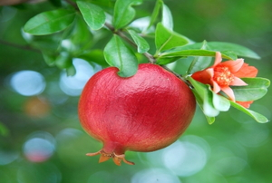 Ripe pomegranate on the branch.