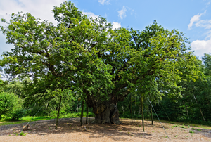 large oak tree with branch supports