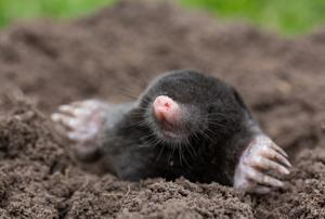 mole emerging