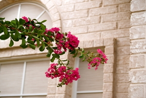 Crepe myrtle branch with pink blooms drooping in front of a tan brick building