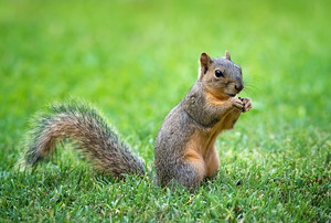 Squirrel standing on hind legs in the grass