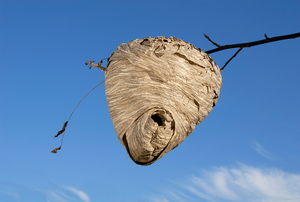 A deserted beehive hanging out on a limb.