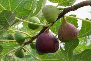 Fig tree branch.