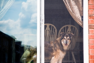 A dog looks out a sliding screen door.
