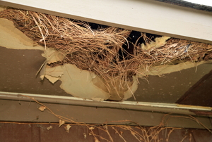 A bird's nest cradled in a hole in the roof.