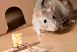 A rat approaching a mouse trap with cheese as the bait.