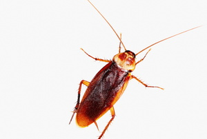 A cockroach against a white background.