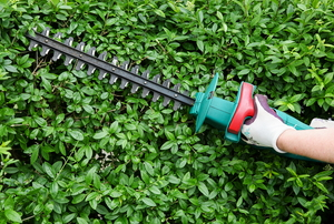 A gardener using an electric hedge trimmer to shape some thick hedges.