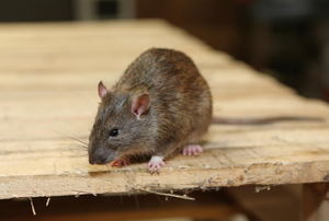 A rat on wood.
