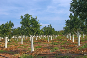 A grove of citrus trees with white paint on the trunks.