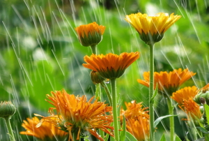 orange flowers blooming in the rain