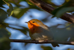 A bird with a red breast sitting in a tree.