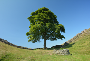 a large sycamore tree on a grassy hillside