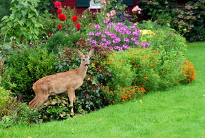 A deer in a landscaped yard