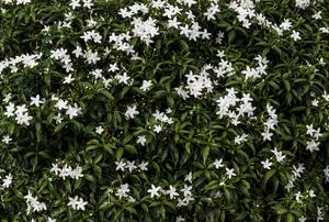 Jasmine in a field.