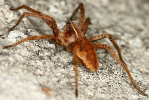 A brown spider crawling across a cement surface.