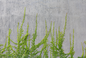 greenery growing up a concrete wall