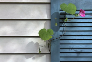 A flowering vine creeping up against a house with gray siding and a blue shutter.