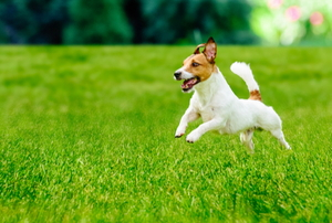 A small, happy dog jumps across a lawn.