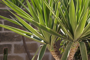 Tips for Pruning a Yucca