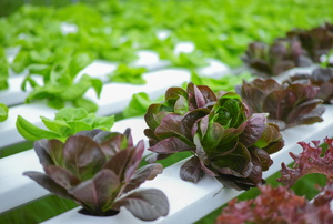 The Difference Between Hydroponics and Aquaponics