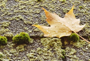 asphalt roof shingles with moss and a maple leaf