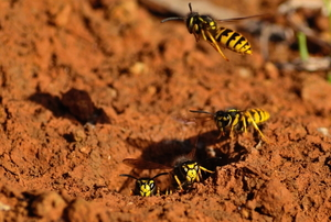 wasps surrounding entrance to a ground nest