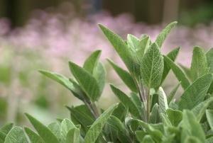 Sage plant  in a garden