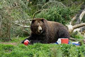 Bear Invading Campground