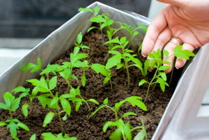 Female hands hold young tomato seedlings in a box in a brightly lit grow room.