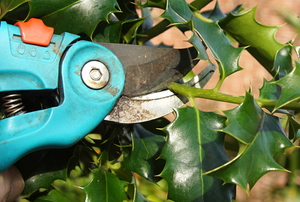 clippers trimming holly bush