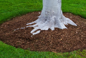 Mulch around the base of a tree with surrounding lawn