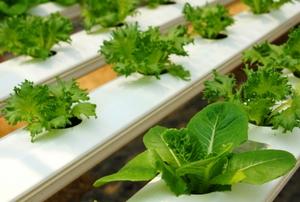 Aquaponic lettuce.