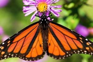 A monarch butterfly feeding at a purple aster.