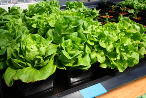 Rows of lettuce grow in hydroponic buckets.