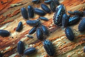pillbugs on rotting wood