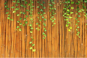 bamboo fence with ivy growing down it