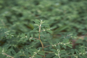 A close-up image of the spotted spurge weed.