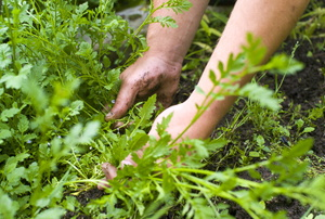 Hands in a garden with weeds